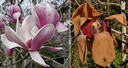 Japanese Magnolias Before and After Freezing - photo by Readerwalker
